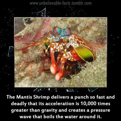Mantis shrimp attack human